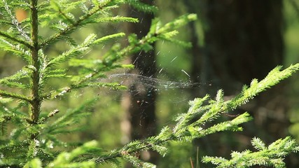 weightless cobweb in forest