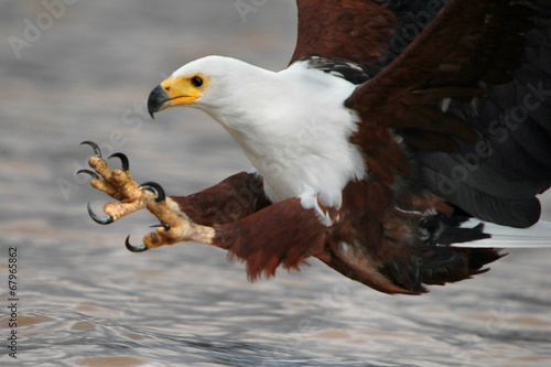 Foto op Canvas Eagle African Fish eagle with fish at Naivasha Lake, Kenya