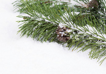 Fir Branch with snow and pine cone