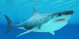 Great White Shark Undersea