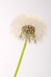 canvas print picture - Pusteblume