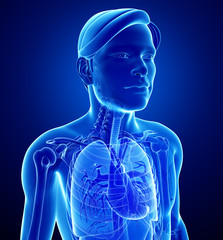 Male x-ray respiratory system artwork