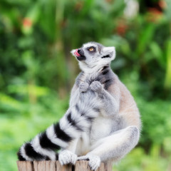 ring-tailed lemur (lemur catta) grin Tongue and looking somethin