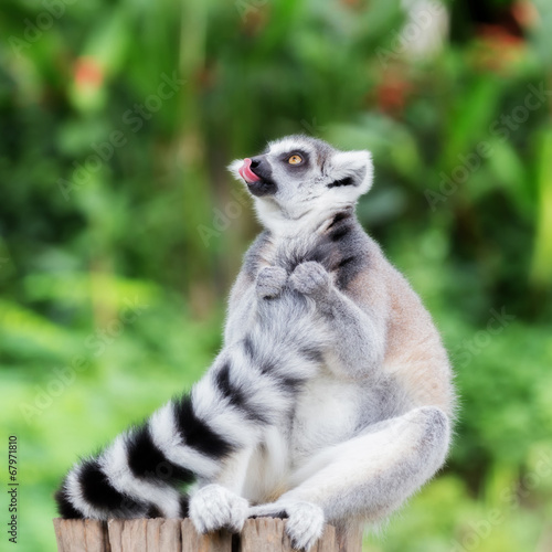 Poster ring-tailed lemur (lemur catta) grin Tongue and looking somethin