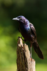 A common grackle perched on a pine stump