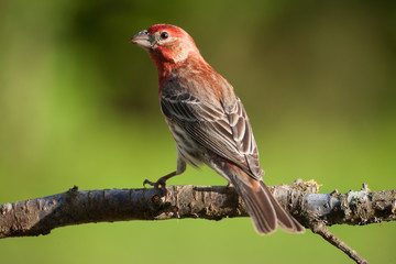 A male house finch perched on a plum tree branch