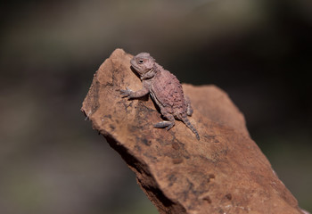 Horned Lizard Phyrnosoma hernandesi found in Northern Arizona.