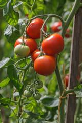 Tomaten, Solanum lycopersicum