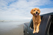 happy golden retriever with his head out the window of a truck - 67973879