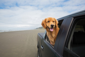 dog driving on the beach with his head out the window