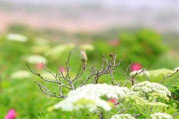 Black-browed reed-warbler (Acrocephalus bistrigiceps) in Hokkaid