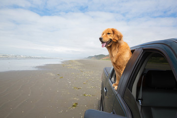 dog drive at the beach