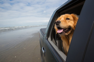 golden retriever dog with his head out the window