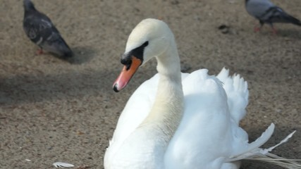 White swan sitting on sand
