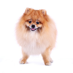 pomeranian dog smile on white background