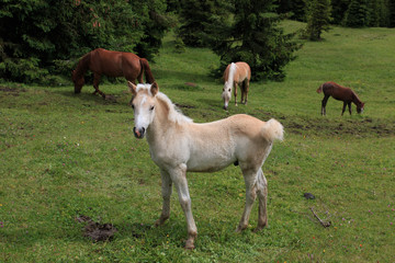 cavalli al pascolo - Alpe di Siusi