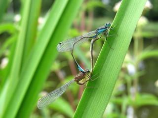 Mating Damselflies