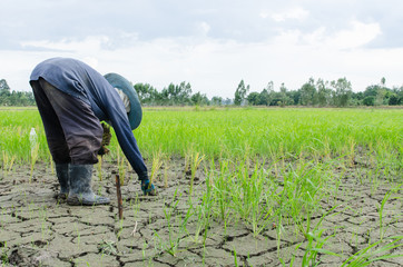 Farmer is planting rice in a dry place farm