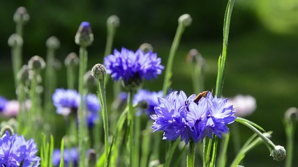 Swaying cornflowers with bug