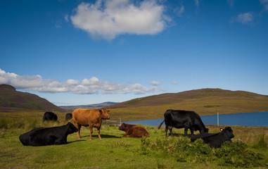 tra Fresgoe e Tongue - Scozia - mucche