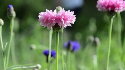 Swaying pink cornflowers person gardening in background