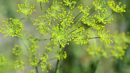 Dill crowns slowly swaying in the wind