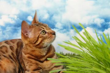 Bengalkatze liegt im Gras mit Katzengras