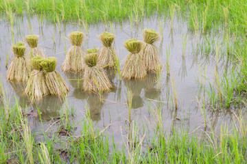 Round of seedings rice in the farm