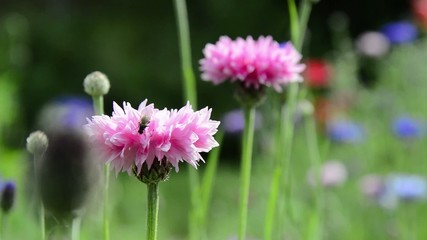 Swaying pink cornflowers