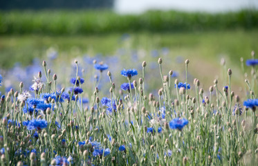 blaue Kornblume (Centaurea cyanus)