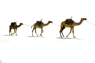 Camels, isolated