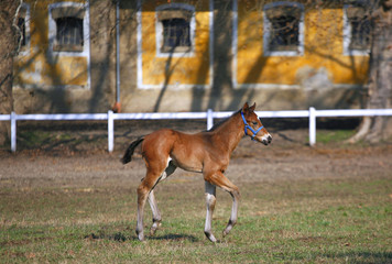 Wonderful young  purebred foal galloping alone in pasture