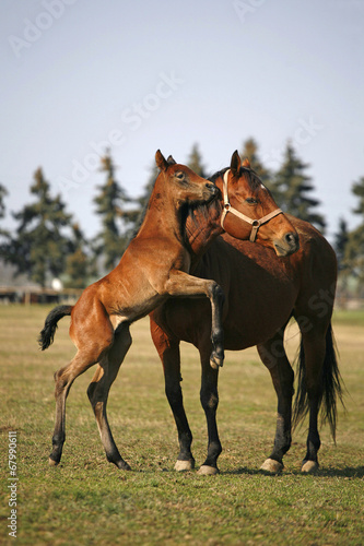 Poster Foal jumping in sunny pasture land