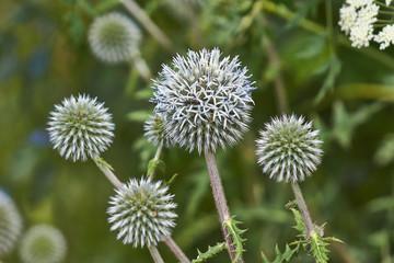 Gray flowers Echinops sphaerocephalus  .