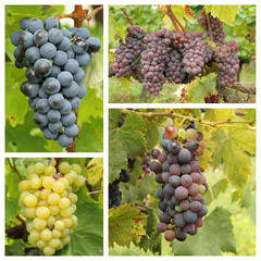 ripe wine bunch grapes in vineyard - collage