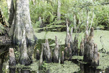 Cypress Tree Stump (knee) Close-up