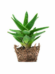 Aloe vera isolated