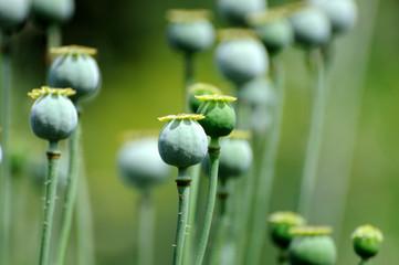 Poppy head.