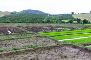 Rice field and garden in Thailand