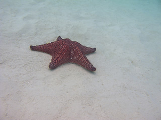 Cushion sea star