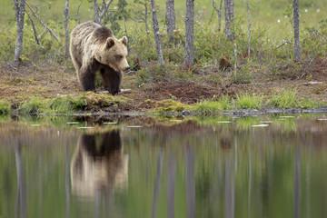 Orso specchio