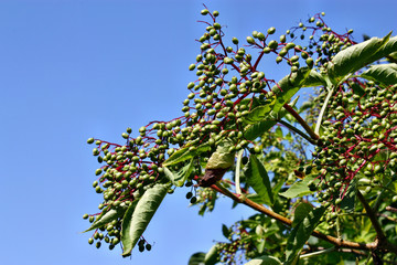 Unripe fruits of elderberry