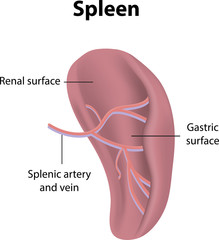 Spleen Labeled Diagram