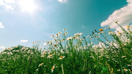 White and Yellow Daisies, on sky background