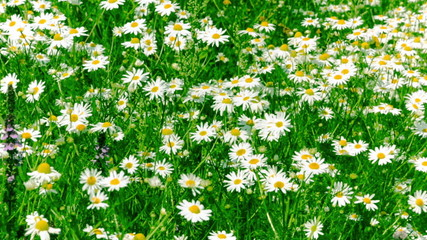 White and Yellow Daisies, Blooming in Field