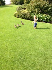 toddler chasing ducks