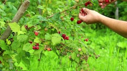 raspberries on the white background