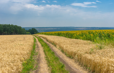 Ukrainian summer landscape with wheat field and country road