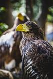 Spanish golden eagle in a medieval fair raptors poster