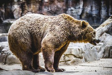 beautiful and furry brown bear, mammal